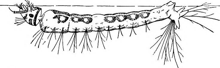 Larve d'anophèle dans sa position horizontale caractéristique.