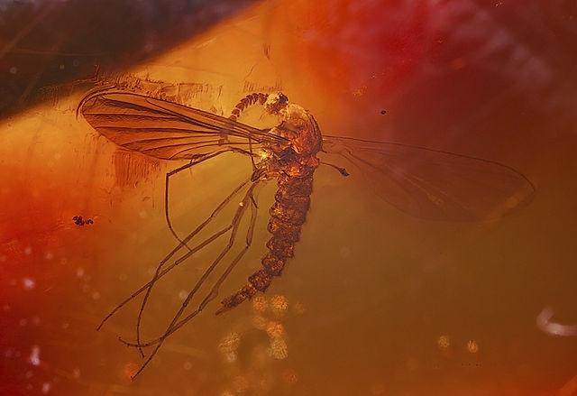 moustique dans l'ambre