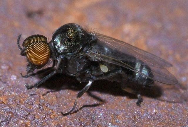 La simulie est un petit insecte dont la femelle est hématophage.
