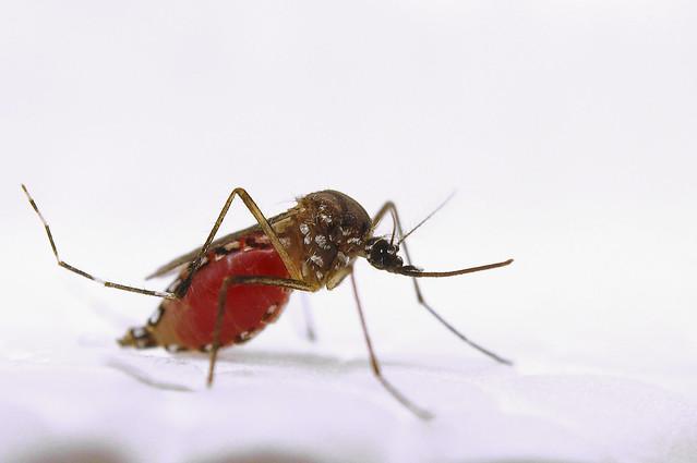 Aedes aegypti gorgé de sang