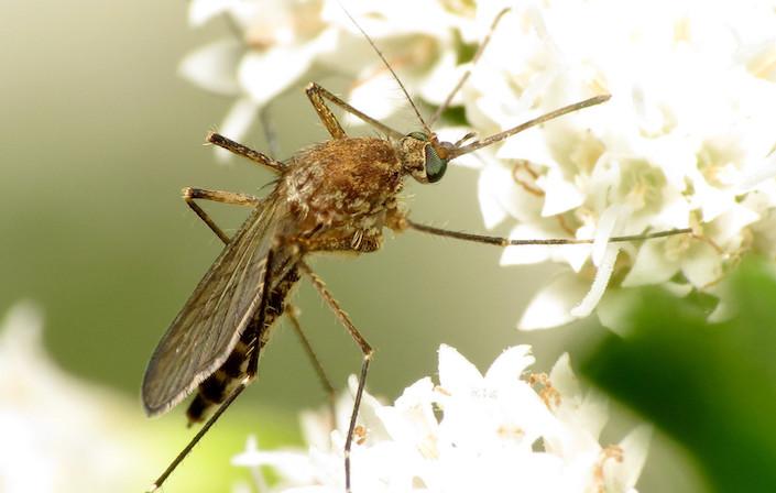 Les moustiques adultes sont avant tout nectarivores.