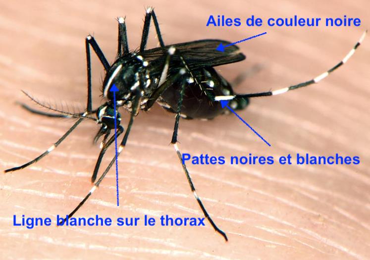 Le moustique tigre est facile à reconnaitre à ses ailes noires et à ses pattes noires et blanches.