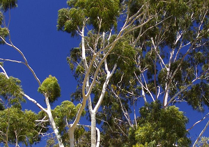Eucalyptus citronné est un arbre qui repousse les moustiques.