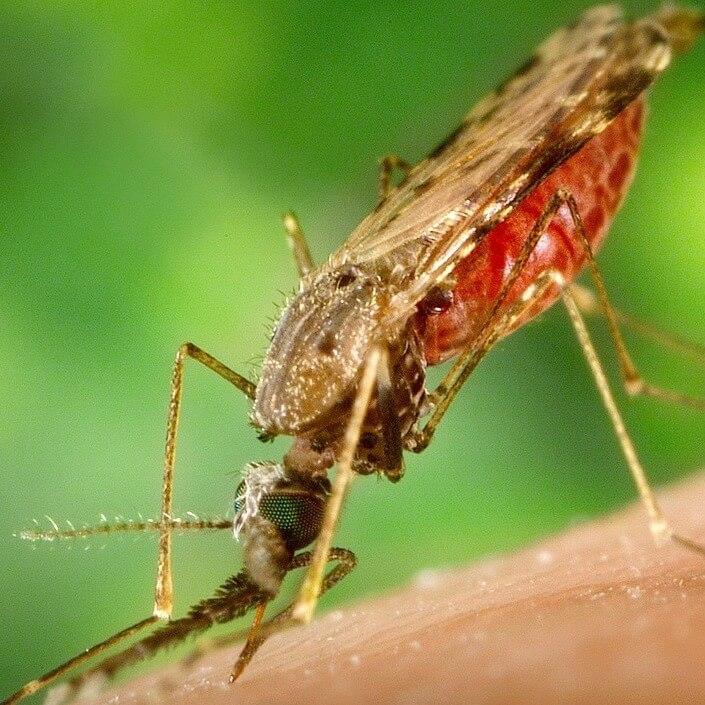 moustique vecteur du paludisme