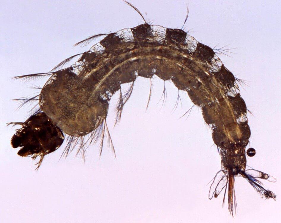 larve d'anophèle