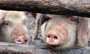 Le porc est une espèce porteuse du virus de l'encéphalite japonaise.