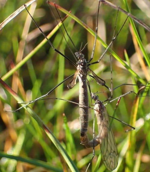 Le cousin Tipula gimmerthali