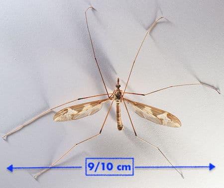 Cousin géant ou Tipula maxima