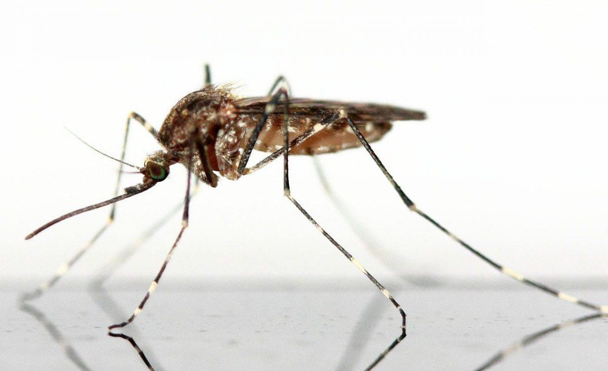 moustique culex